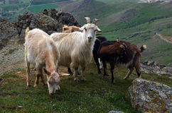Goats on a mountain top Royalty Free Stock Images
