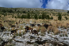 Goats in the mountains. Albanian goats in the mountains Stock Photo