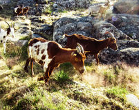 Goats in the mountains Royalty Free Stock Photos