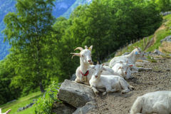Goats in the mountains. Stock Image