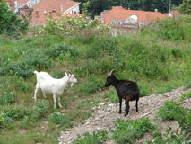 Goats in the mountains Stock Images