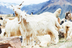 Goats in mountains Stock Photography