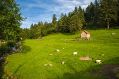 Goats in the Murgtal near Forbach Royalty Free Stock Photos
