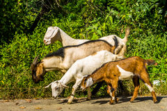 Goats in natural background Royalty Free Stock Photos