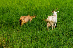 Goats in natural background Stock Images