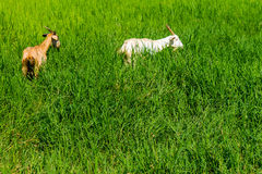 Goats in natural background Royalty Free Stock Photo