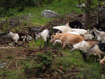 Goats in nature Stock Photography