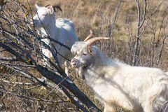 Goats near the dry wood Stock Image