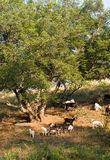 Goats near a tree in summer. Herd of white and brown goats walking and pasturing near a big tree during summer Stock Photo