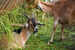 Goats near the trough Stock Photography