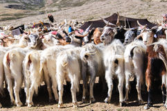 Goats of nomads at Korzok village near Tsomoriri Lake, Ladakh, India. During the summers Changpas camp at various places in their tents and look after their Stock Images