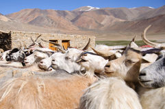 Goats of nomads at Korzok village near Tsomoriri Lake, Ladakh, India. During the summers Changpas camp at various places in their tents and look after their Stock Image