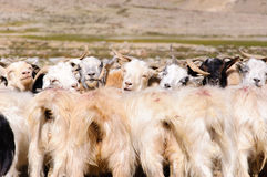 Goats of nomads at Korzok village near Tsomoriri Lake, Ladakh, India. During the summers Changpas camp at various places in their tents and look after their Stock Photography