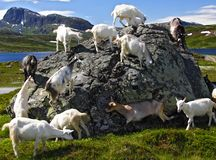 Goats in Norway. Goats in Jotunheimen national park, Norway royalty free stock photography
