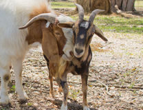 Goats nuzzling Royalty Free Stock Images