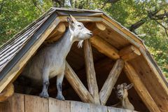 Goats in the old farm in Parc Omega Canada stock images