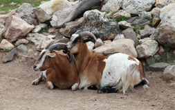 Goats at Old MacDonald's Farm Royalty Free Stock Photography
