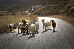 Free Goats On The Road Stock Photo - 60972530