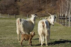 Goats and one baby goat Royalty Free Stock Image