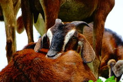 Goats. Are one of the oldest domesticated species, and have been used for their milk, meat, hair, and skins.  have two horns & have horizontal, slit-shaped stock images