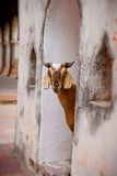 Goats and other animals roam freely in India Stock Images
