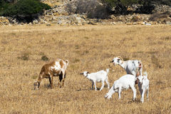 Goats out in the nature eating hay and grass. Royalty Free Stock Photography