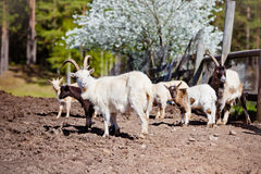 Goats outdoors in a countryside Stock Photography
