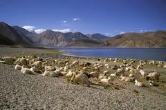 Goats at Pangong Lake Stock Photography
