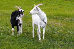 Goats in the pasture Stock Photo