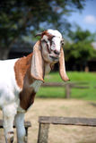 Goats in pasture Stock Photos