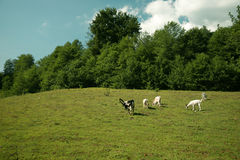 She goats on the pasture Royalty Free Stock Photos