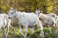 Goats eating grass Stock Image