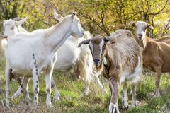 Goats eating grass Royalty Free Stock Photography