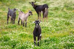 Goats on a pasture. A flock of goats standing on a pasture, Greece Stock Photography