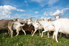 Goats  on a pasture Royalty Free Stock Photo