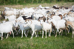 Goats on a pasture Stock Photo