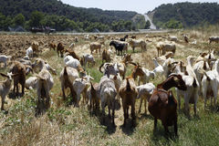 Goats in pasture. Herd of goats grazing in pasture Stock Photo