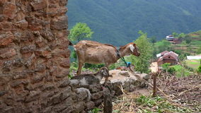 Goats in pasture at Himalayas Mountains, Nepal Royalty Free Stock Photos