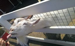 Goats peaking their head through the fence Royalty Free Stock Photography