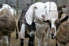 Goats Peering Through Fence Stock Image