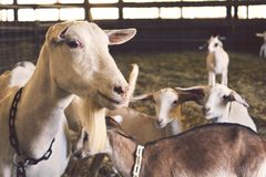 Goats in pen Royalty Free Stock Photos