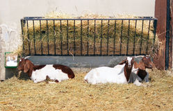Goats in pen Royalty Free Stock Images
