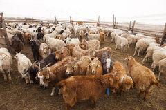 Goats in a pen in a small farm in Mongolia Stock Images
