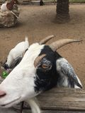 Goats in a pen with small horns. Feed strewn about the yard royalty free stock photo
