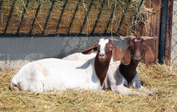Goats in pen. Two goats resting in pen or stable Stock Image