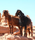 Goats in Petra, Jordan Royalty Free Stock Image