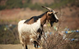 Goats in the plateau Royalty Free Stock Photography