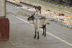 Goats on the platform Royalty Free Stock Photos