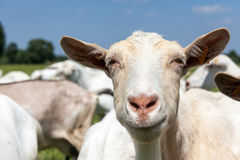 Goats. Play and eat on the meadow royalty free stock photos