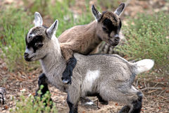 Goats playing. Juvenile goats playing around the vegetation Royalty Free Stock Images